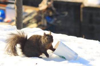 Squirrel with a Starbucks Cup