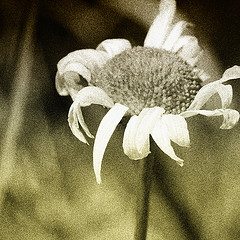 Daisy Demise | Source: jumpinjimmyjava on Flickr under CC By 2.0 Licence